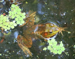 It took me a while to spot my first frog - but after I had seen this chap - I saw them everywhere