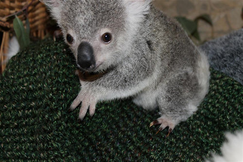 Orphan koalas need something to snuggle up to. I can knit that.