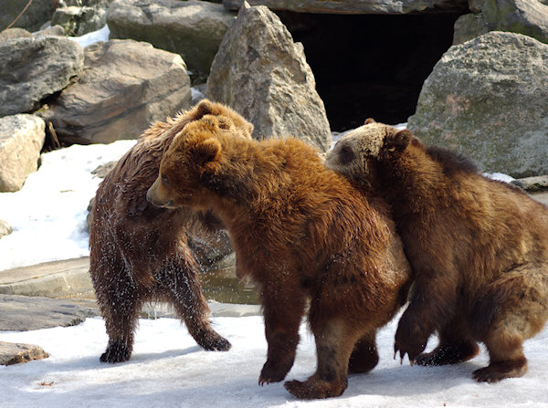 How much better is this... young bears playing in the snow at the Bronx Zoo - taken a couple of years ago.