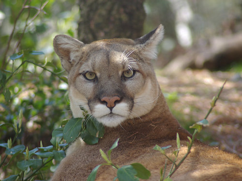 This cougar in Flushing Meadows Zoo was watching us as much as we were watching her. Her face was threatening and intelligent and beautiful. A wonderful photo taken by webmaster John.