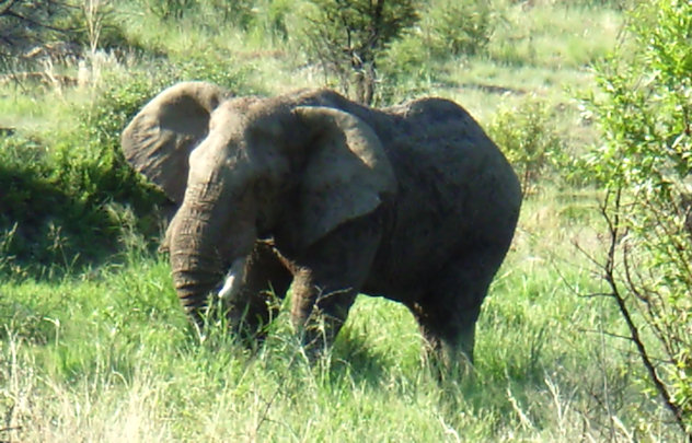 I saw this elephant in his natural environment in Africa - although further away and ahrder to photograph, he seemed so much more majestic and powerful when seen in his natural environment.