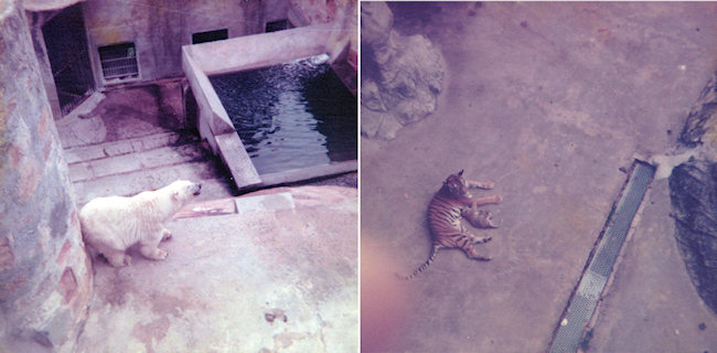 These faded old photos were taken at Taronga Park Zoo in Sydney when I was about 15. I was excited to see the animals - but even then I recognised that this sort of display was sad and wrong.