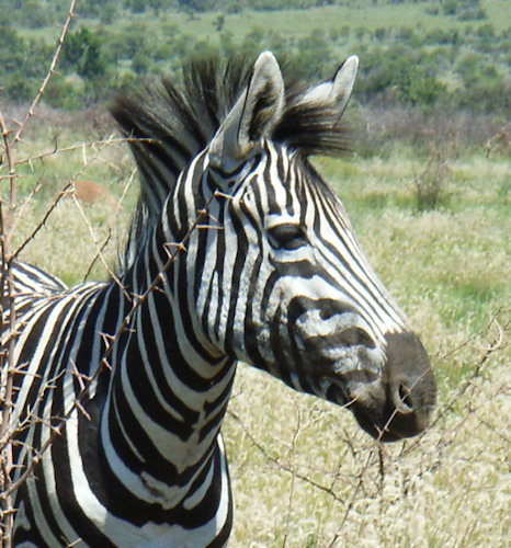 Who knew that zebras had such long eyelashes.. taken at a reserve in South Africa.